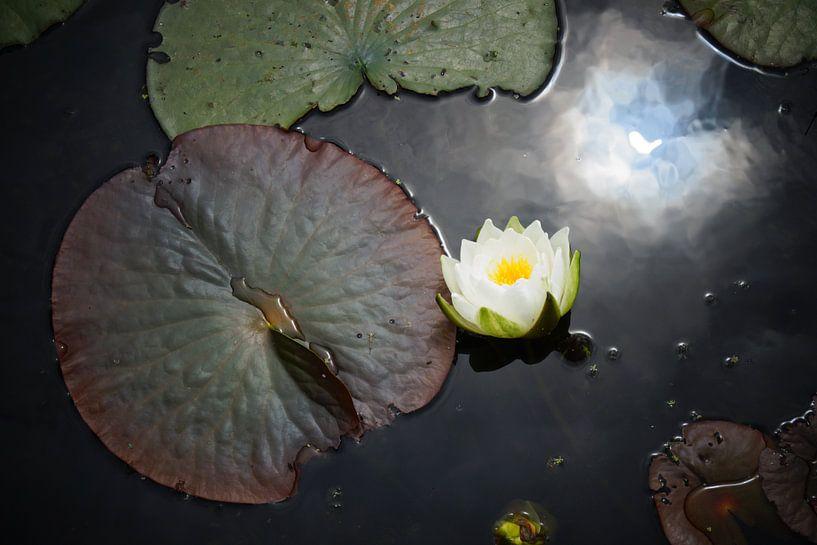Waterlelie van Michel van Kooten