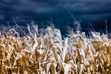 Corn field van Helga Novelli