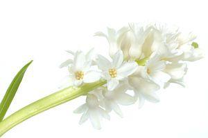 High key witte hyacint