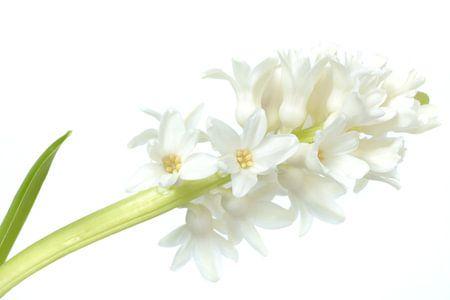 High key white hyacint von Gonnie van de Schans