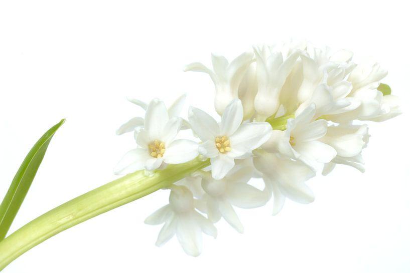 High key witte hyacint van Gonnie van de Schans