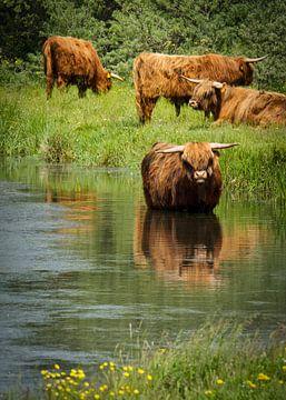 Schotse Hooglanders Highland cow van Sran Vld Fotografie
