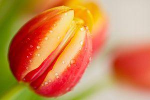 Tulp met druppels