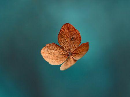Blauwe en oranje gedroogde hortensiabloem van Kyle van Bavel
