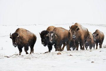 Amerikanische Bisons ( Bison bison ), kleine Herde, trottet durch den Schnee, Yellowstone NP, USA. von wunderbare Erde
