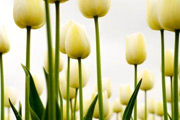 Tulpen bij sombere lucht van Eddie Smit