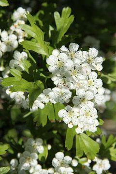 weiße Fruchtblüte von Spijks PhotoGraphics