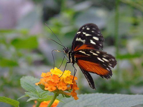 Heliconius hecale ( Tropische vlinders ) Collectie 2018 van Jan van Bruggen