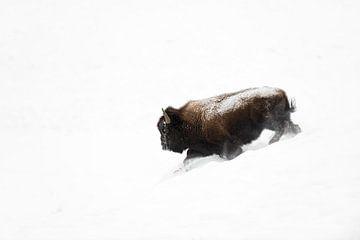 Amerikaanse Bison (Bison bison) stormen een helling af door diepe sneeuw, Yellowstone NP, Wyoming, U van wunderbare Erde