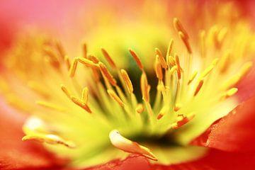 Sorry... (bloem, lente, rood, geel, klaproos) von Bob Daalder
