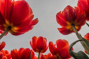 Große Tulpen von Stephan Scheffer