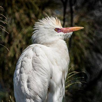 Een Ibis, ook wel nijlreiger genoemd. von Harrie Muis