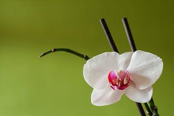 Weiße Orchidee von Fotoblok