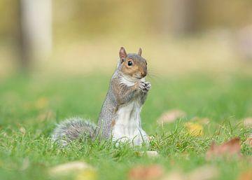 Graues Eichhörnchen von Elles Rijsdijk