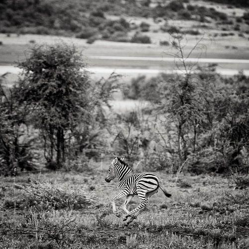 young zebra van