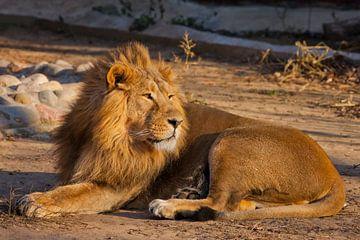 mächtiger, schöner Löwe von Michael Semenov