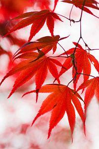 Esdoorn blad (rood) van Cocky Anderson