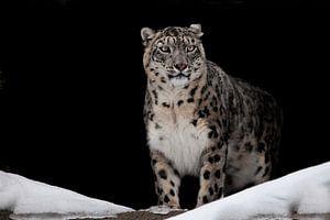 Stolz aussehend. Leckte. Der Schneeleopard ist ein mächtiges und schönes Raubtier im Schnee vor eine