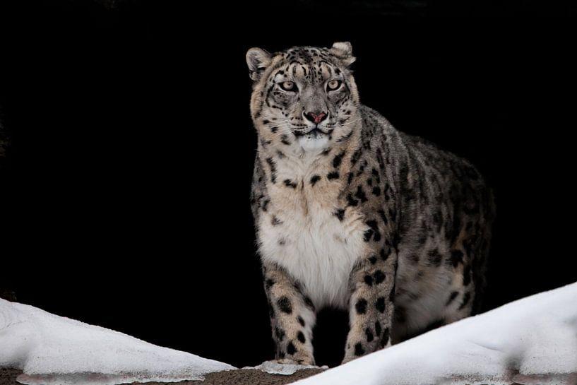 Stolz aussehend. Leckte. Der Schneeleopard ist ein mächtiges und schönes Raubtier im Schnee vor eine von Michael Semenov