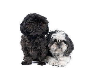 Twee Shih-Tzu ( Shih Tzu ) honden pup en moeder in zwart en wit zittend tegen witte achtergrond van Leoniek van der Vliet