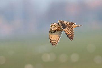Short-eared owl in flight. 3:2 sur Inge Duijsens