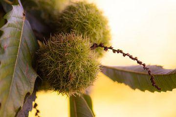 kastanjes aan de boom van Tania Perneel