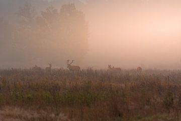 Edelherten in het Weerterbos tijdens een mistige zonsopkomst van John van de Gazelle