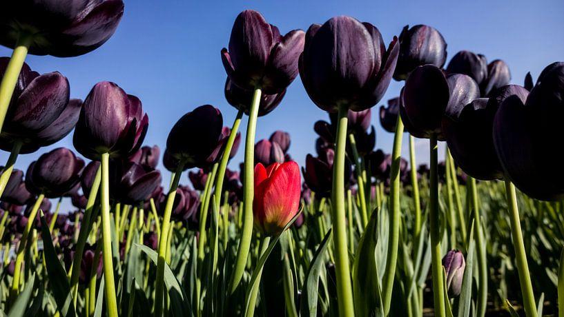 Paarse Tulpen van rosstek ®
