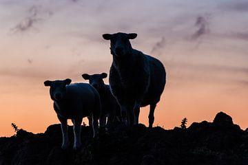 Schaf-Familie von Anjo ten Kate