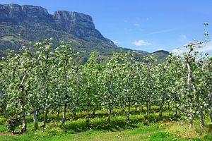 Apple Blossoming near St. Pauls