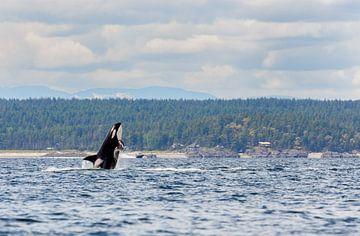Springende orka  van