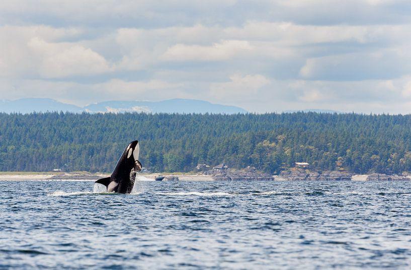 Springende orka  van Menno Schaefer