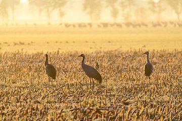 Kranichvögel während eines frühen Sonnenaufgangs im Herbst von Sjoerd van der Wal