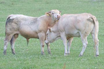 Een stier en een koe in love van