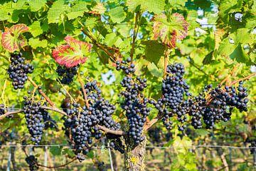 Veel hangende blauwe trossen druiven in wijngaard van Ben Schonewille