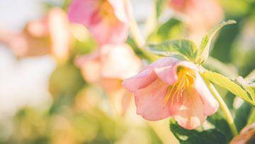 Bloeiende lenteroos, helleborus van ElkeS Fotografie