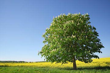 Bloeiende kastanjeboom op een geel verkrachtingsveld tegen de helderblauwe lucht, prachtig landschap van Maren Winter