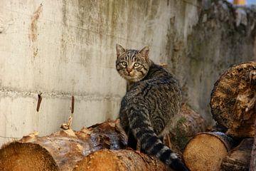 Bruine kat die achterom kijkt   van Luc Flèddérus
