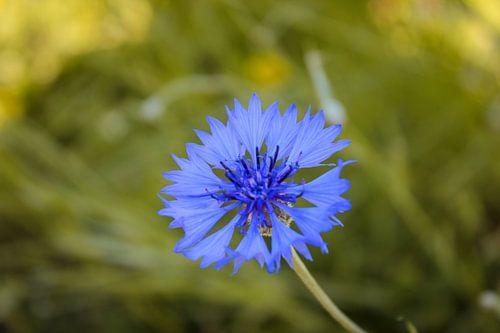 Blaue Blühte