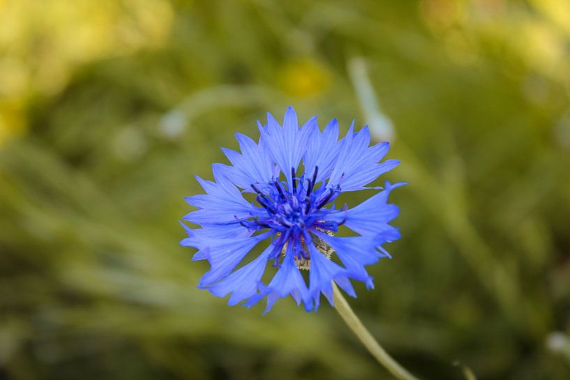 Blaue Blühte von Florian Kampes