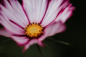 Nahaufnahme der Cosmea-Blume | Niederlande, Holland von Trix Leeflang