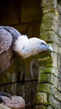 Griffon Vulture van
