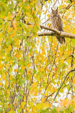 Ransuil met herfstkleuren van Stijn Smits