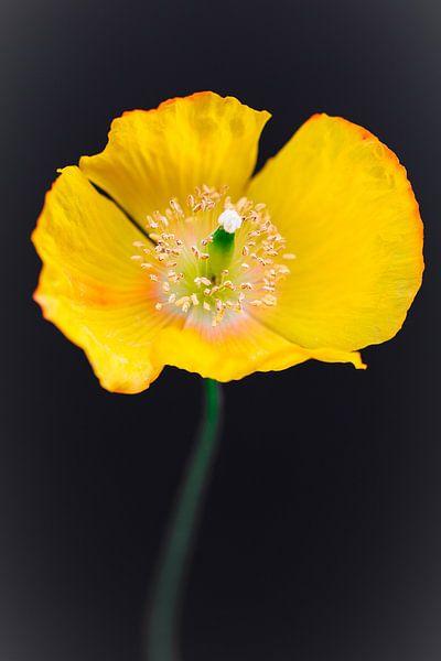 Gele klaproos of papaver van Lily Ploeg
