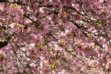 Kirschblüte in Sittard von Ann Barrois