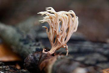Koraal achtige paddenstoel in Elswout van Eric-Jan Oud