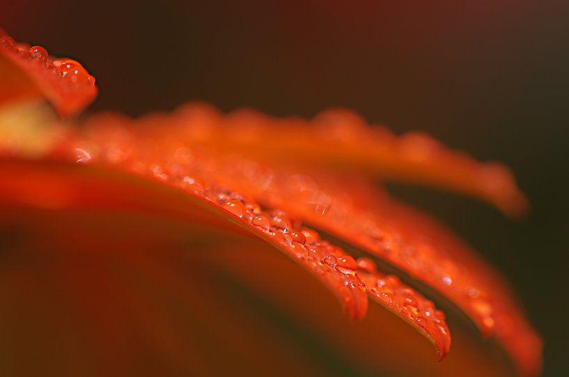 Gerbera macrofotografie bloemen van Watze D. de Haan