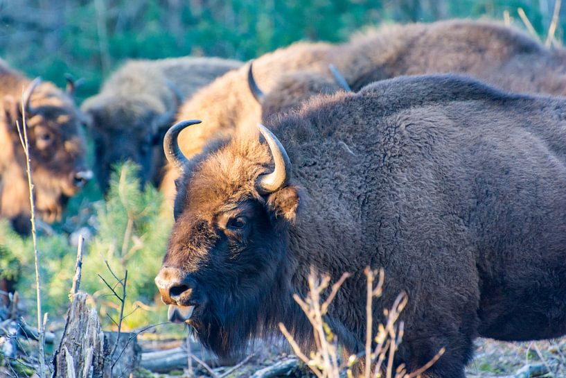 Wysent (europese Bison) in de maashorst van Kevin Pluk