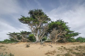 Les pins dans les dunes sur Hannie Kassenaar