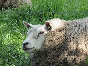 Liggend schaap in wei van Annie Lausberg-Pater